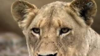 """Безжалостная охота львов на жирафа!   Discovery """"Прирожденные короли"""""""