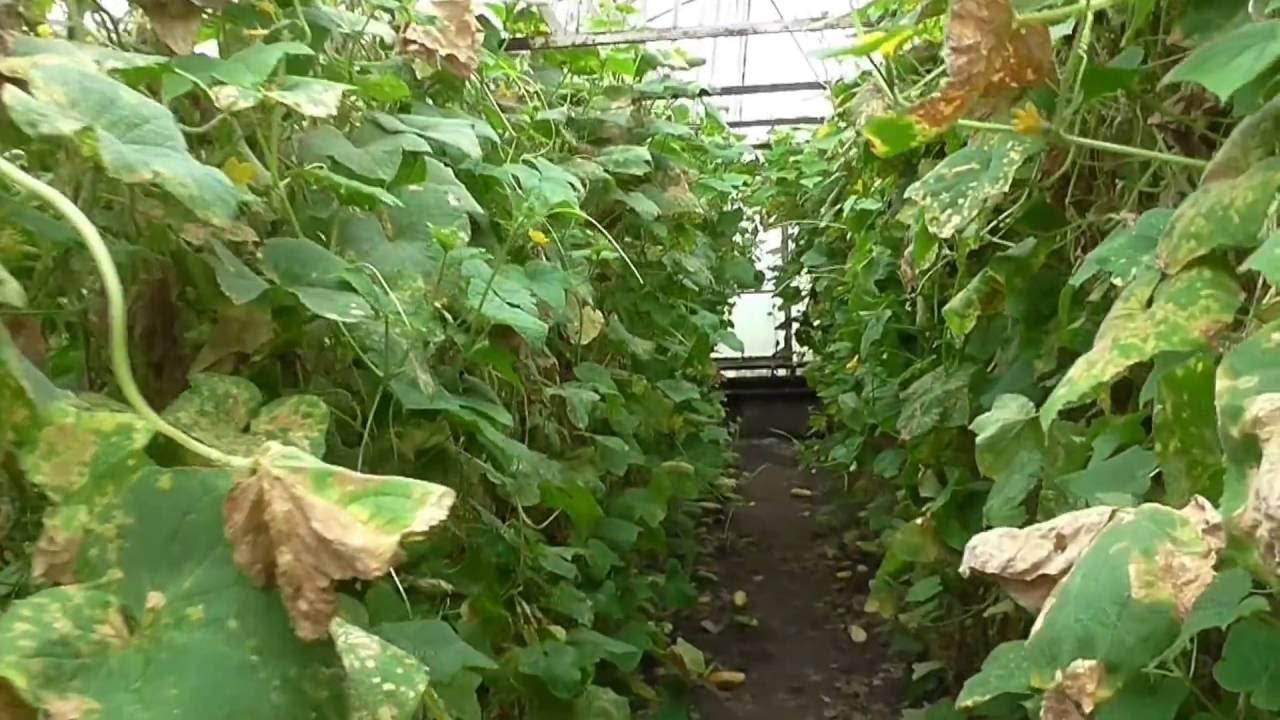 Как избавить растения в теплице от паутинного клеща