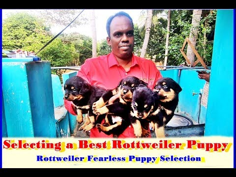 Selecting a Best  Rottweiler Puppy  H.Laika Puppies  Part 2