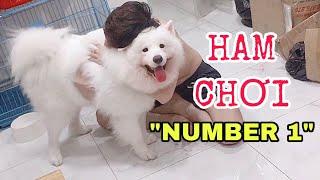 Đỉnh cao nhõng nhẽo của chó Sam๐yed (Cute samoyed dog)