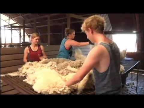 Can you shear a sheep? Western Qld needs shearers as drought eases