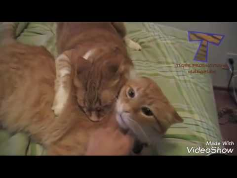 funny cat machine gun & jealous cat COMPILATION