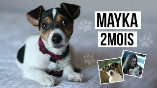 MAYKA ♡ - chiot jack russell terrier, 2mois