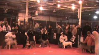 Gavatron At the MidWest Blizzard Bully Expo Show Jan 29,2011