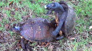 Gulf Coast Box Turtles Mating  GCBT001 GCBT003 MAY 29 2015 640am