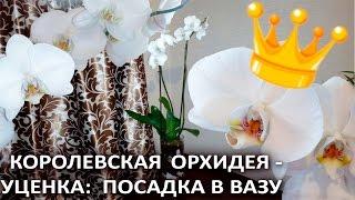 видео королевская орхидея уход