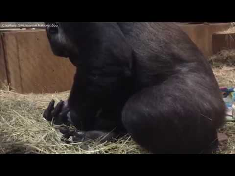 Raw: Video captures gorilla giving birth at National Zoo