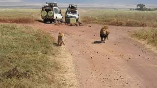 Close encounters with a pair of lions in Tanzania
