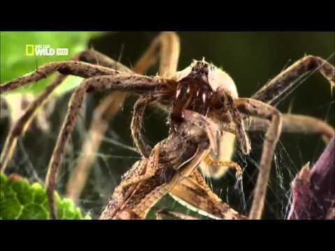 National Geographic Супер паук Super Spider — Яндекс Видео 11