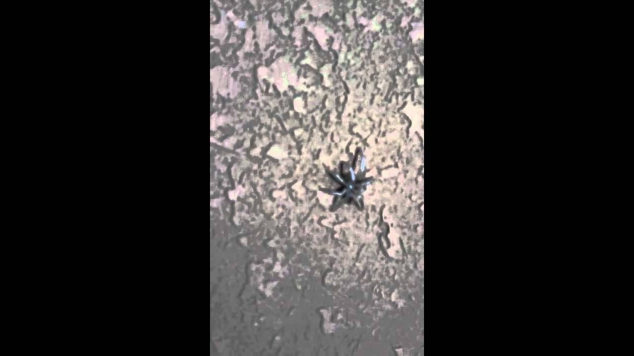 Rare albino black widow - YouTube