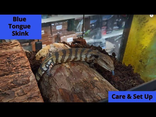 Blue tongue skink Care & set up | Fdrs Strs 56