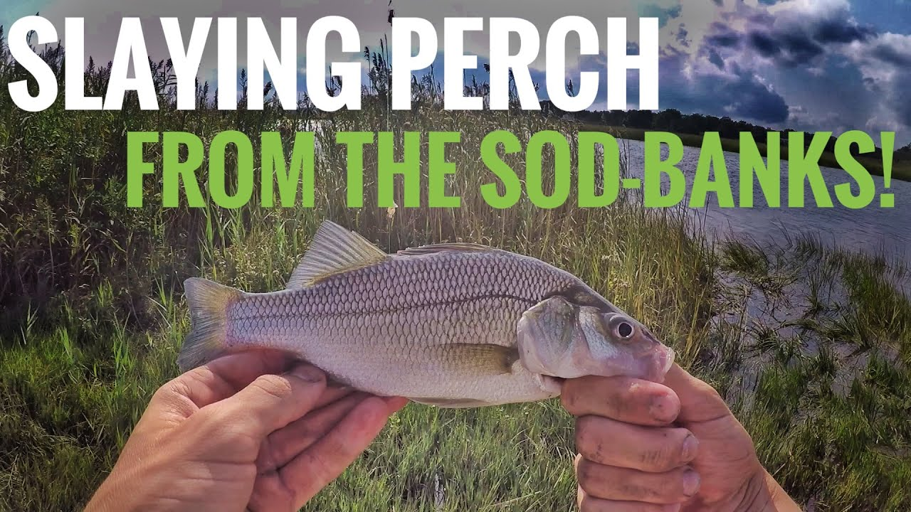 SLAYING White Perch on the NJ Sod-banks (New Species!)