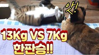 (고양이랑친칠라랑) 13Kg VS 7Kg 한판승!