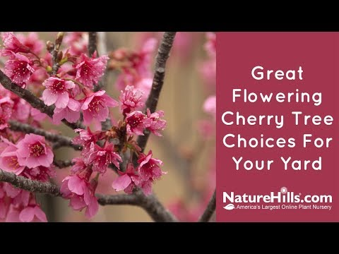 Top 4 Flowering Cherry Trees | NatureHills.com