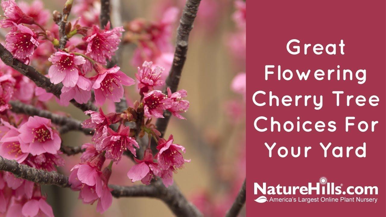 Top 4 Flowering Cherry Trees Naturehills Com Youtube