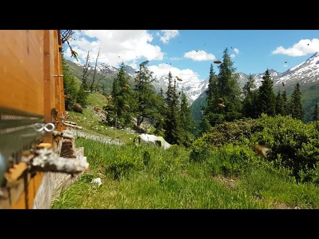 Alpenhonig-Wandervölker im Frühsommer im Hochgebirge der Alpen