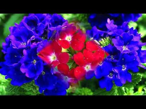 Вербена цветы -