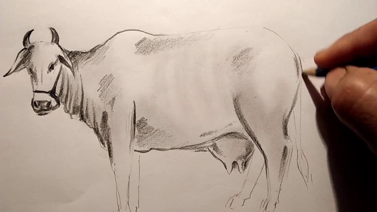 A cow pencil sketch