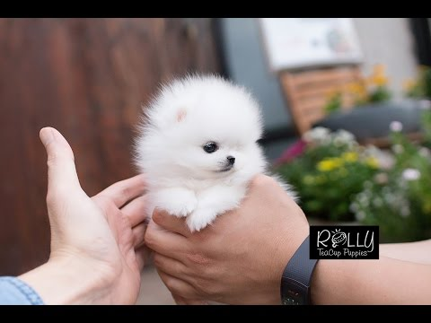 ICE White Coat Cute TeddyBear Pomeranian 'Milly' - Rolly Teacup Puppies