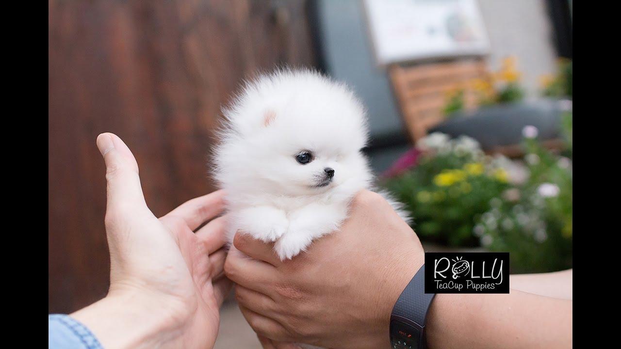 ICE White Coat Cute TeddyBear Pomeranian Milly Rolly Teacup