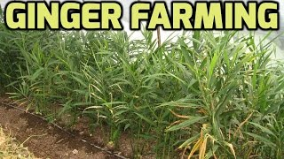 Ginger farming Success Stories - Paadi Pantalu