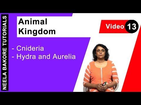Animal Kingdom - Cnideria - Hydra And Aurelia