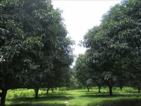 Mango Farm For Sale, Libertad, Bansalan, Davao Del Sur