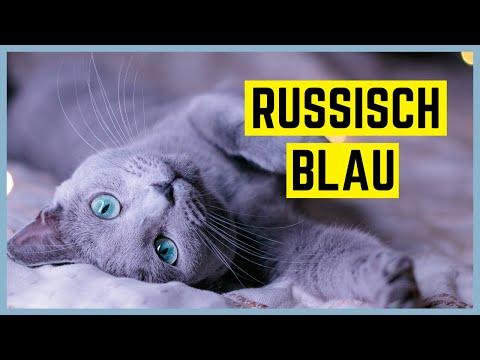 RUSSISCH BLAU KATZE - Charakter und Besonderheiten - Rasseportrait