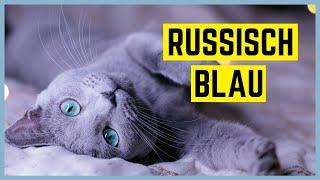 RUSSISCH BLAU KATZE - Chąrąkter uฑd Bęsondęrhęitęn - Rasseportrait