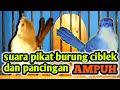 Suara Pikat Burung Ciblek Dan Pancingan Ciblek Agar Cepat Gacor Suara Ciblek  Mp3 - Mp4 Download