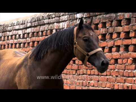 The finest Indian race horses are bred in this stud farm!