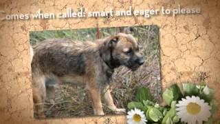 Pebbles: A Border Terrier