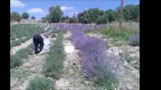Αιθέριο έλαιο λεβάντας: Από το χωράφι στο σπίτι σας!