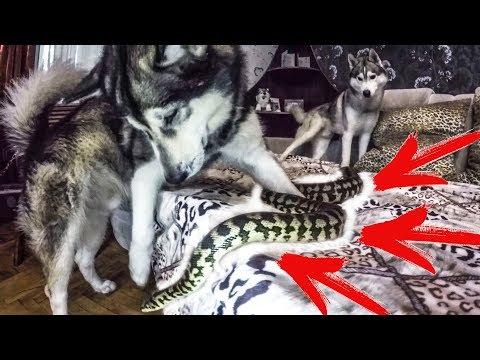 Змея в кровати с хаски