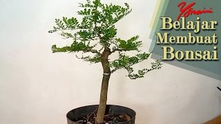 Cara Pruning dan Wiring Bonsai Kawista