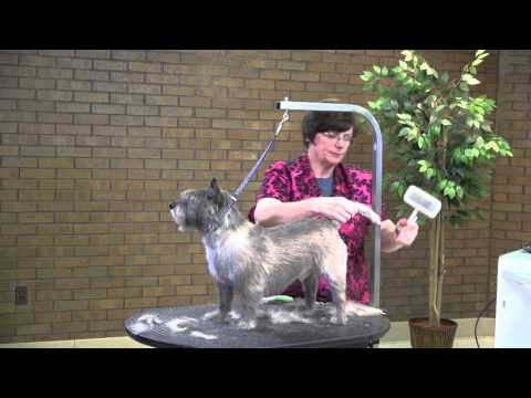 Dog Grooming - Working with a Light Coated Cairn Terrier