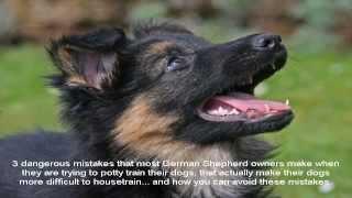 Miniature German Shepherd Video