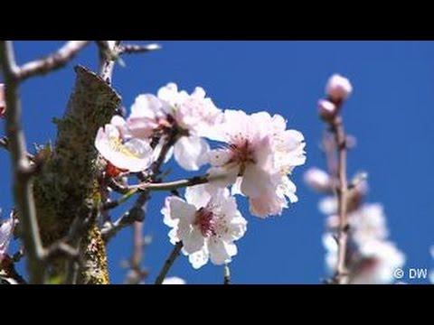 A floração das amendoeiras de Mallorca