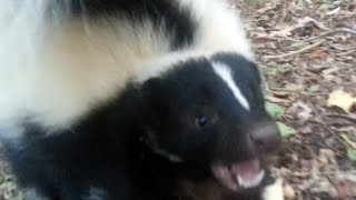 Vicious Skunk Attack