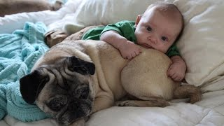 Cute Pugs And Babies Playing And Laughing Together Compilation