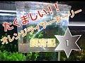 【Aquarium】週刊モーリー!オレンジライヤーモーリーの稚魚現る!