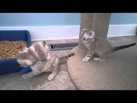 Ava's Snow Bengal babies playing