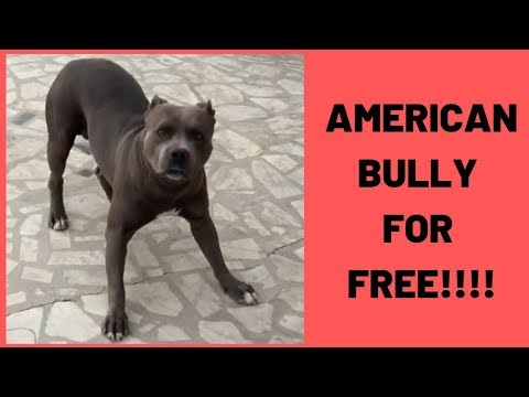 American Bully For Free Youtube