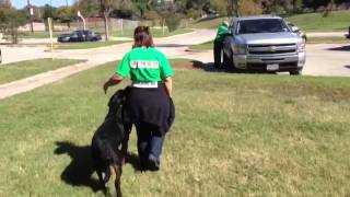 Teaching A Rottweiler To Heel | Sit Means Sit Dog Training