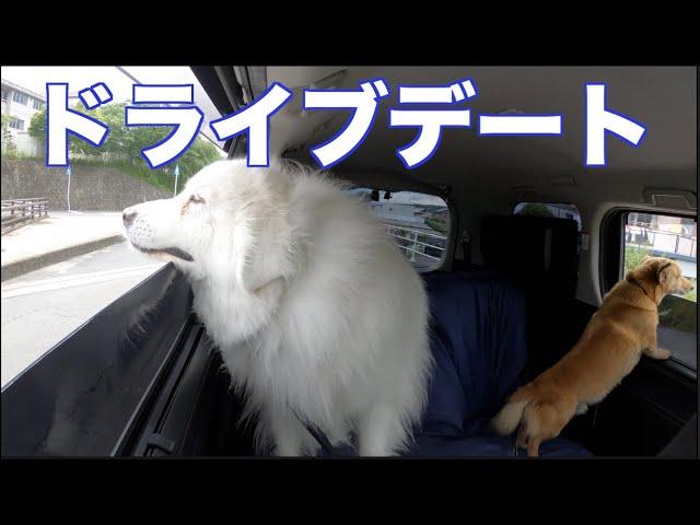 岐阜 里山公園 散歩 グレートピレニーズ Mix犬