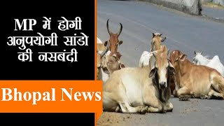 Bull Vasectomy |सरकार ने दिया सांडों की नसबंदी का आदेश, प्रदेश में हो रहा विरोध| MP Updates