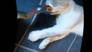 Gandii  Cobra Attack