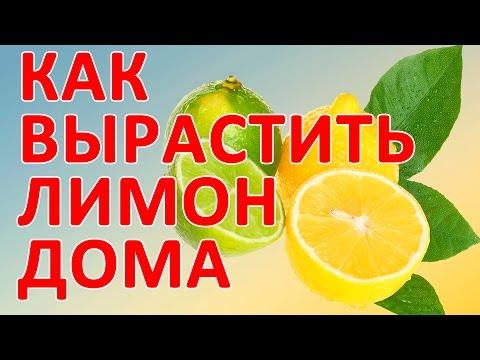 Как вырастить лимон в домашних условиях.Как вырастить лимон дома.