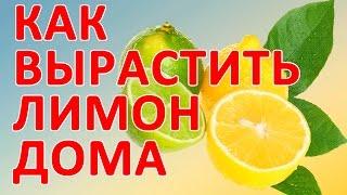 Как вырастить лимон в домашних условиях.Как вырастить лимон дома.(Как вырастить лимон в домашних условиях.Посмотри как вырастить лимон дома. http://nataliflowers.kz/ Сегодня я расскаж..., 2015-01-02T07:09:45.000Z)