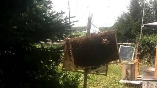 слёт пчелы с ели.фильм 2й .